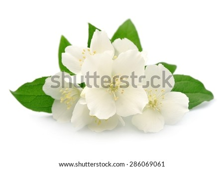 Jasmin flowers closeup on white background - stock photo