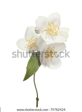 jasmin flowers isolated on white background - stock photo