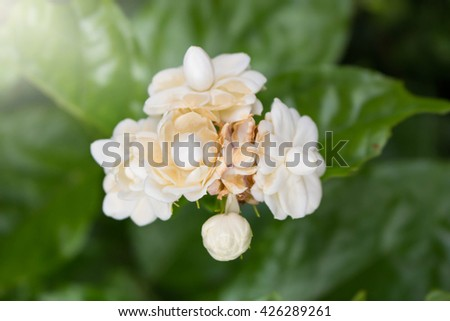 Jasmine flower growing on the bush in garden with sun rays and b - stock photo