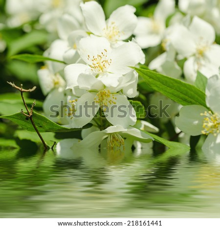 Jasmine flower growing on the bush in  garden with water reflection, natural floral background - stock photo