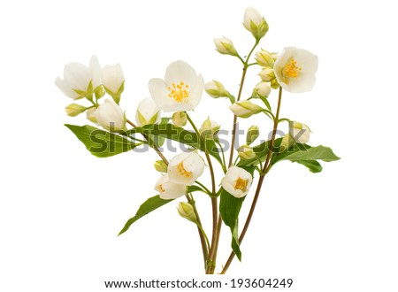 jasmine flower on a white background - stock photo