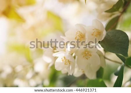 Jasmine flowers blossoming on bush, summertime photo - stock photo