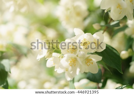 Jasmine flowers blossoming on bush, summertime photo