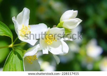 Jasmine flowers branches in the garden  - stock photo