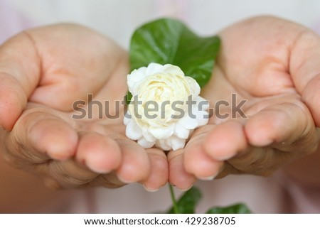 Jasmine flowers have petals multiple layers in hands, This flower is symbol of Thailand Mother's Day. Selective focus.  - stock photo