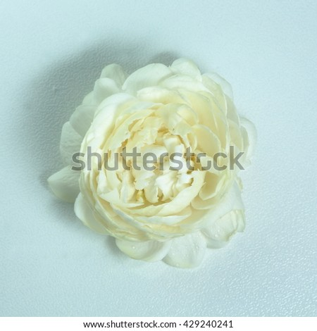 Jasmine flowers have petals multiple layers , This flower is symbol of Thailand Mother's Day. Selective focus.  - stock photo