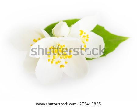 jasmine isolated on white background - stock photo