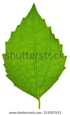 Jasmine leaf isolated on white - stock photo