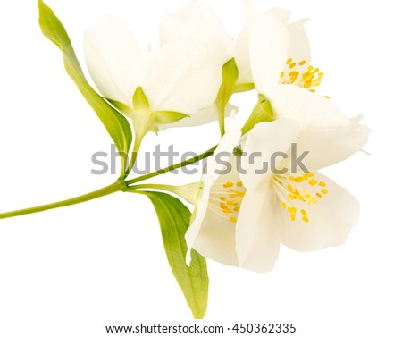 Jasmine white flower isolated on white background.