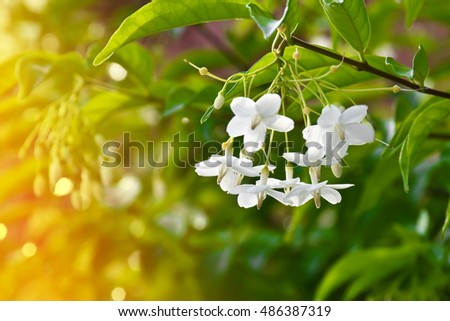 jasmine white flower on green background