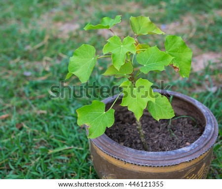 Jatropha tree in  pot,Thailand