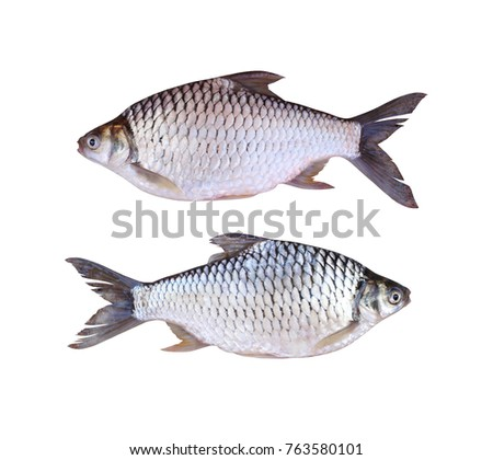Java barb or Silver barb of freshwater fish isolated on white background and have clipping paths.