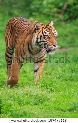 Javanese tiger in the grass