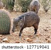 Javelina approaches a fishhook barrel cactus - stock photo