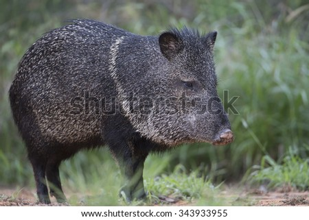 Javelina in Rio Grande Valley of southern Texas