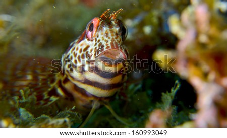 Jawfish front