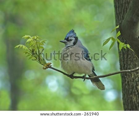 Jay Bird - stock photo