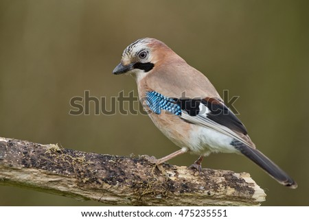 Jay bird perch on a twig