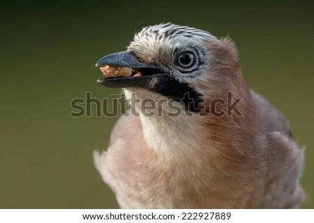 Jay bird portrait  - stock photo