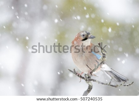 Jay (Garrulus glandarius) perched at a branch during blizzard, Lauvsness, Flatanger, Norway.