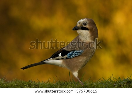 Jay in autumn