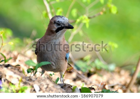 Jay in the forest , close up. - stock photo
