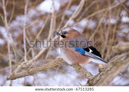 Jay on snowy branch - stock photo