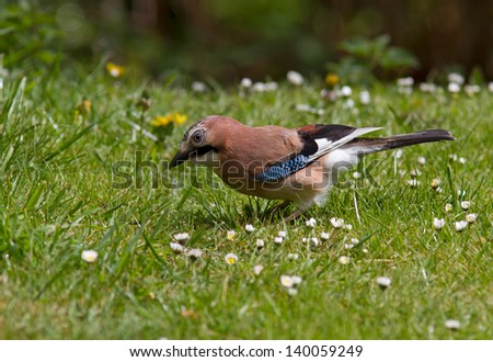Jay on the grass. - stock photo
