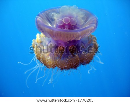 jellyfish - stock photo