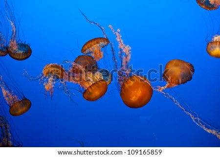 Jellyfish at the Monterrey Bay Aquarium - stock photo