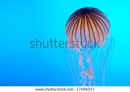 Jellyfish in electric blue background - stock photo