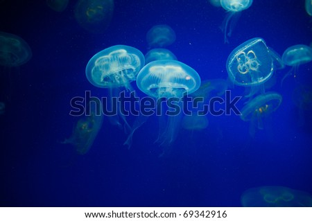 Jellyfish in the water