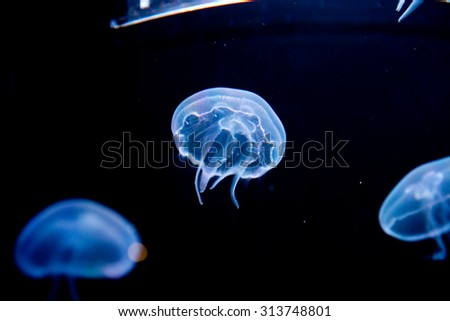jellyfish, medusa - stock photo
