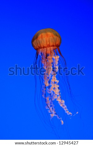 Jellyfish - Sea nettle  (Chrysaora quinquecirrha) - stock photo