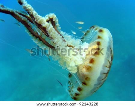 Jellyfish with small fish, Mediterranean sea, Pyrenees Orientales, Vermilion coast, Roussillon, France - stock photo