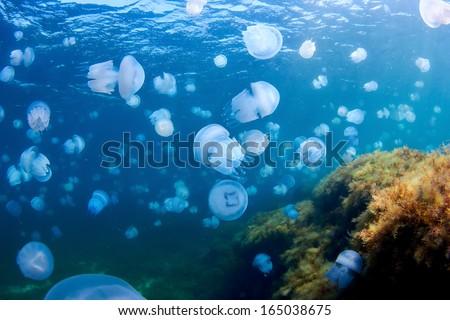 Jellyfishes (Rhizostoma pulmo), in the Black Sea. - stock photo