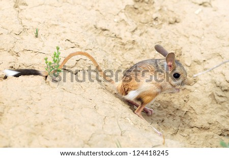 jerboa (Allactaga major) with a long tail and ears - a cute little animal is on the long hind legs - stock photo