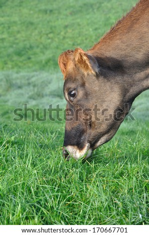 Jersey cow on pasture, West Coast, New Zealand - stock photo