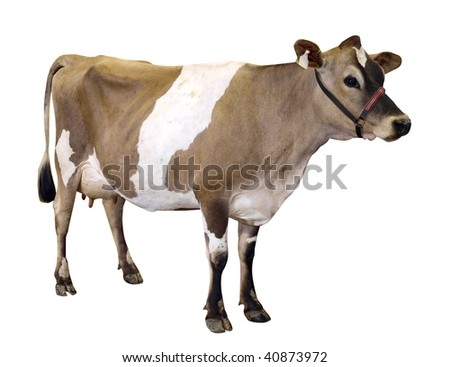 Jersey Cow with Halter isolated with clipping path - stock photo