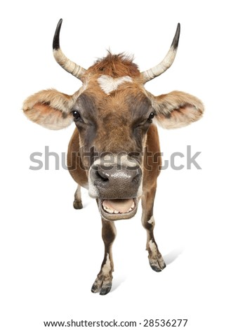 Jersey cow (10 years old) in front of a white background - stock photo