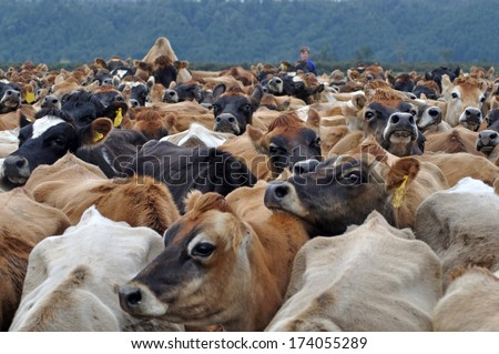 Jersey cows coming in from pasture, West Coast, New Zealand - stock photo