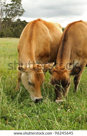 Jersey cows , New Zealand - stock photo