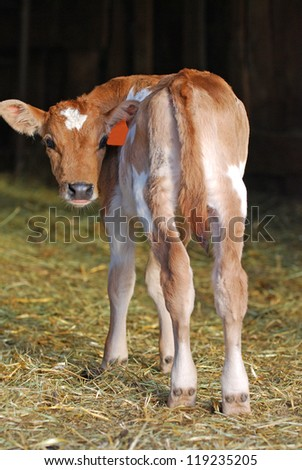 Jersey dairy calf standing in straw looking backwards. - stock photo