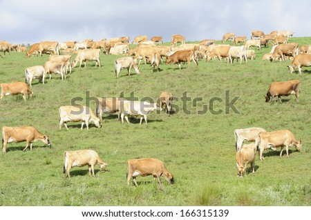 JERSEY HERD. A herd of Jersey dairy cattle graze on summer pasture on a farm in the Drakensberg foothills, Underberg, kwazulu Natal, South Africa. Jerseys provide a  high cream content in their milk - stock photo