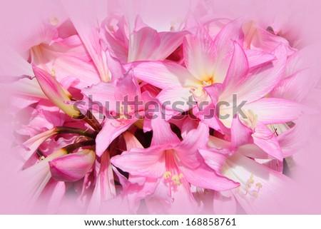 Jersey Lily Jersey Lily Stock Photo