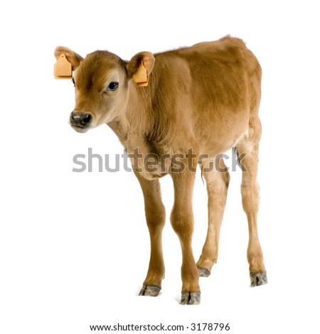 Jersiaise calf in front of a white background - stock photo