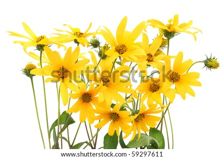 Jerusalem artichoke (Helianthus tuberosus) topinambur flowers isolated on white