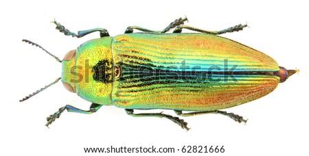 Jewel beetle isolated on white background. - stock photo