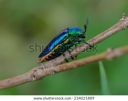 Jewel beetle, Metallic wood-boring beetle, Buprestid. - stock photo