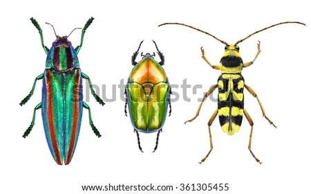 Jewel beetle (metallic wood-boring beetle), flower chafer and flower long-horn beetle isolated on a white background